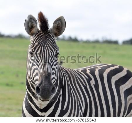 A Burchells Zebra (Equus quagga burchelli) in the Kruger Park, South Africa. - stock photo