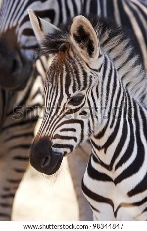 A Burchells zebra foal stands close to its mother