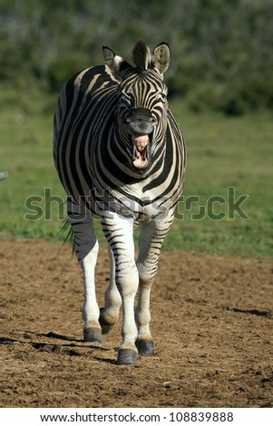 A burchells zebra pulling a funny face in this photo