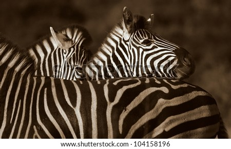A Burchells zebra rests his head on another in this superb close up monochrome / black and white photo.Taken while on safari in Addo elephant national park,eastern cape,south africa