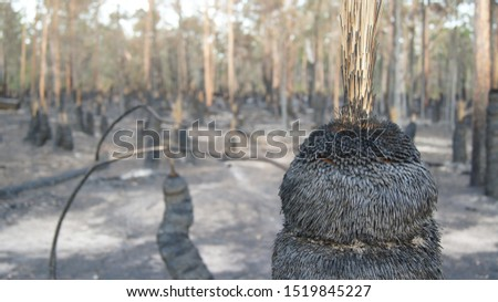 a burnt grasstree and burnt bushland #1519845227