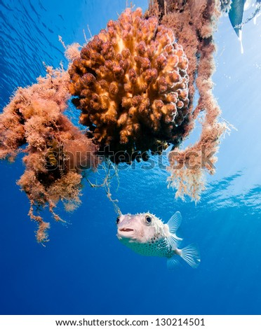 A burrfish hovers next to a coral encrusted mooring line in shallow water - stock photo