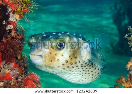 A Burrfish swims next to a coral encrusted pier leg on a tropical coral reef
