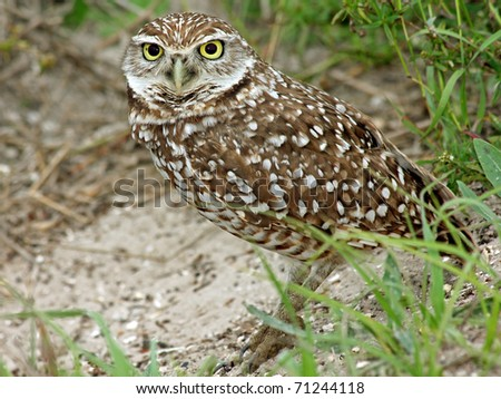 A Burrowing Owl (Athene cunicularia) in Cape Coral, Florida