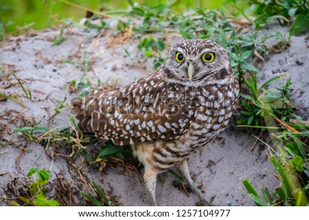 A Burrowing Owl in Cape Coral, Florida