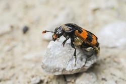 A burying beetle (Nicrophorus vespillo, Silphidae) sitting on a small rock