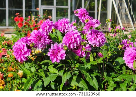 A bush of dahlias with lilac flowers in the garden near the greenhouse
