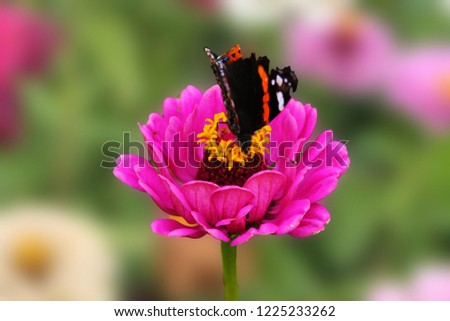 A butterfly collects nectar on a pink flower of a tsinii graceful. A flower of a tsinii graceful on an isolated green background.