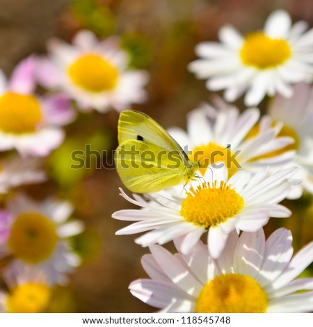 A butterfly on daisy flowers