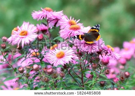 A butterfly on flowers. Purple aster. A flower of aster. Flower in garden. Autumn flowers Foto stock ©