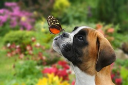 A butterfly on the nose of a young German boxer
