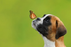 A butterfly on the nose of a young German boxer dog