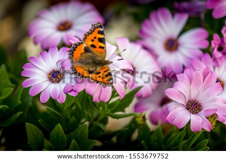 A butterfly resting on an cape daisy Stock photo ©