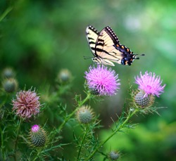 A butterfly rests on a flower in spring. Thistle flowers growing in clusters.