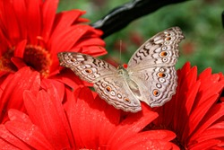 a butterfly with open wings sits on red gerbera blossoms
