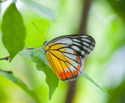 a butterfly with white and black wings and orange mixed yellow wings catches   on green leaf.