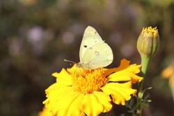 A butterfly with yellow-lemon wings collects pollen from flowers. Bushes of yellow flowers. A flower bed with marigolds. Flowers close-up. Flying insect on flowers. A flower bed in a park or garden.
