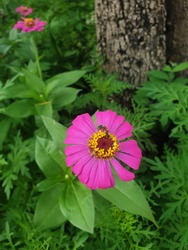 A buzzing bee on a pink cosmos flower.