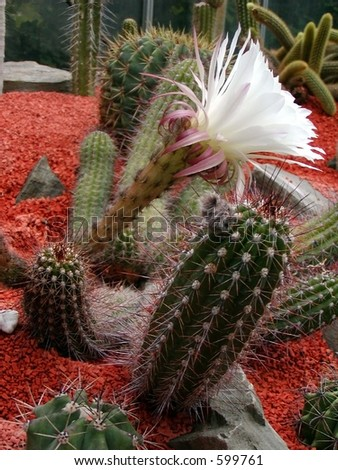 A cactus flowering with a white flower #599761