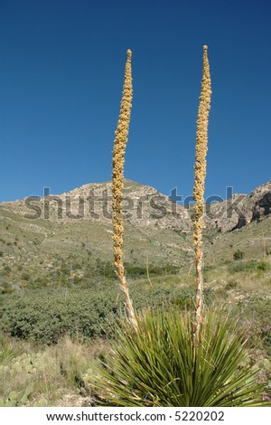A cactus grows tall during the wet season in the west Texas Guadalupe Mountains National Park.
