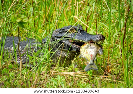 A caiman (Caiman yacare) eats a piranha in the Ibera Wetlands (Esteros del Ibera) near the village of Colonia Carlos Pellegrini in the Corrientes province of northern Argentina #1233489643