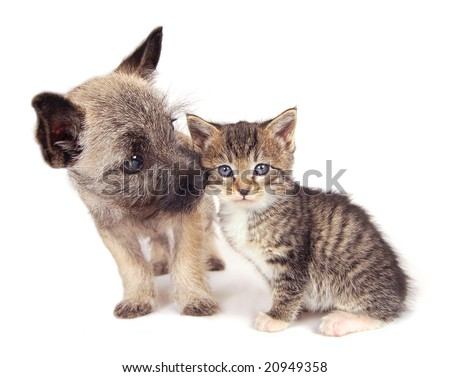 Cairn Terrier Puppies on Cairn Terrier Puppy Sniffing A Kitten  Stock Photo 20949358