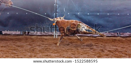 A calf being lassoed around neck and legs in a team event at an Australian outback country rodeo #1522588595