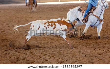A calf being lassoed by cowboys on horseback in a team calf roping competition at a country rodeo #1532345297