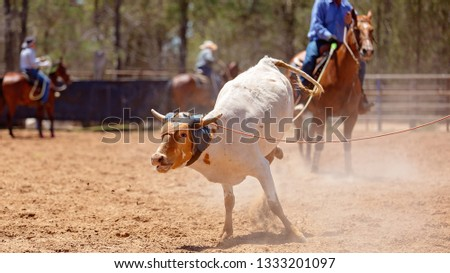 A calf being roped by a cowboy riding a horse during a team event at an Australian country rodeo #1333201097