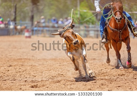 A calf being roped by a cowboy riding a horse during a team event at an Australian country rodeo #1333201100