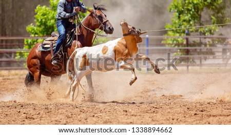 A calf being roped by a cowboy riding a horse during a team event at an Australian country rodeo #1338894662