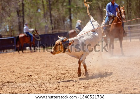 A calf being roped by a cowboy riding a horse during a team event at an Australian country rodeo #1340521736
