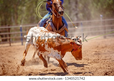 A calf being roped by a cowboy riding a horse during a team event at an Australian country rodeo #1340521742
