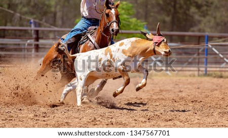 A calf being roped by a cowboy riding a horse during a team event at an Australian country rodeo #1347567701