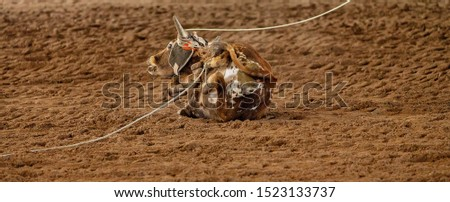 A calf falls to the dusty ground after being caught by ropes at a team event at an Australian outback country rodeo #1523133737