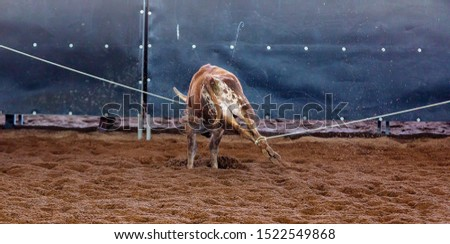 A calf held captive with both legs roped in a team event at an outback country rodeo #1522549868