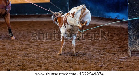 A calf held captive with both legs roped in a team event at an outback country rodeo #1522549874