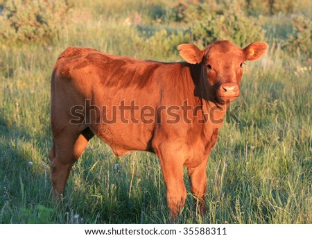 A calf in Cypress Hills Interprovincial Park, Saskatchewan, Canada.