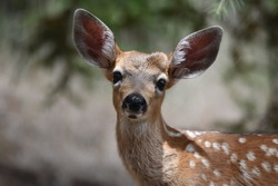 A California Mule Deer fawn in the trees in Novato, CA.
