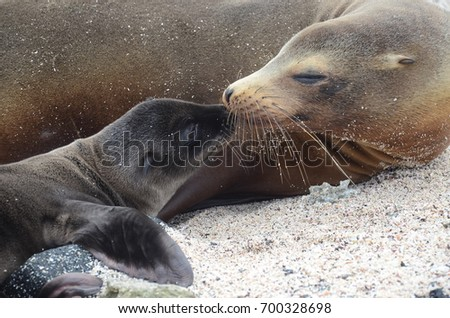 A California Sea Lion and its newborn pup share an intimate moment