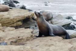 A California Sea Lion looks for a spot to bath in the sun on a summer day in La Jolla, CA.