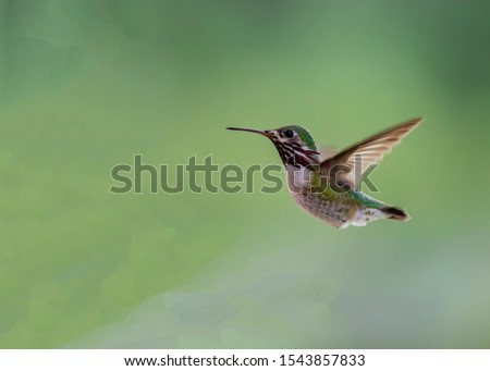 A calliope hummingbird flies from a tree to find some necter.  Photo taken in Idaho.