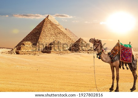 A camel by the Pyramids of Egypt in the desert of Giza Stockfoto ©
