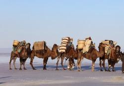 A camel caravan on the edge of Salt Lake