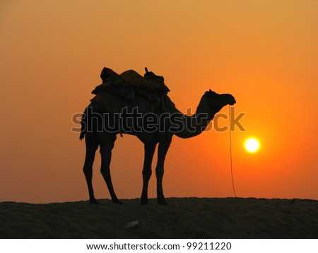 A camel in the desert at sunset, Sam Sand Dunes near Jaisalmer, India