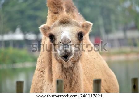 a camel in the foreground  a camel in the foreground, looks toward the lens  #740017621