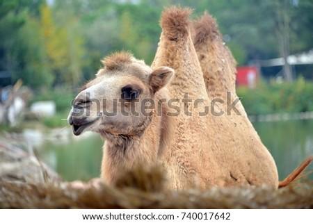 a camel in the foreground  a camel in the foreground, looks toward the lens  #740017642