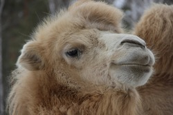 A camel in the Siberian zoo. Camel's head close-up. Long camel hair. Camels are large animals adapted to live in arid regions of the world.