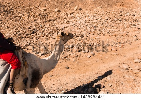a camel on a rout in the desert  #1468986461