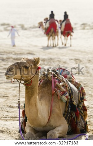 camel sitting down in an Arabian desert while in the background ...